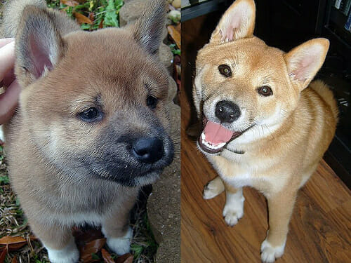Shiba Inu Puppy Coloring – Shiba Inu Pup